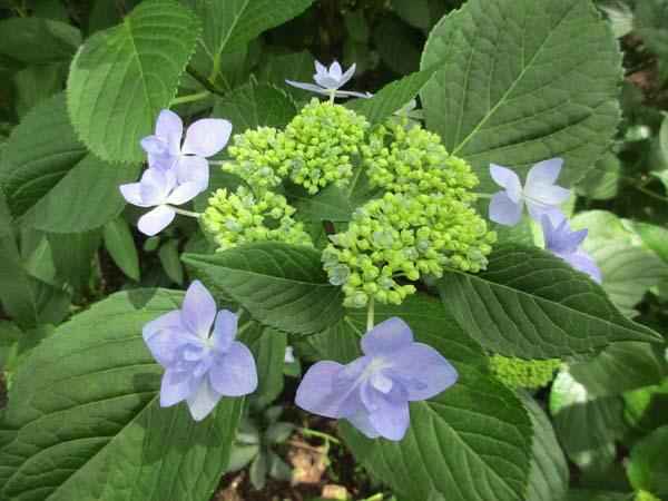 紫陽花2 のコピー.jpg