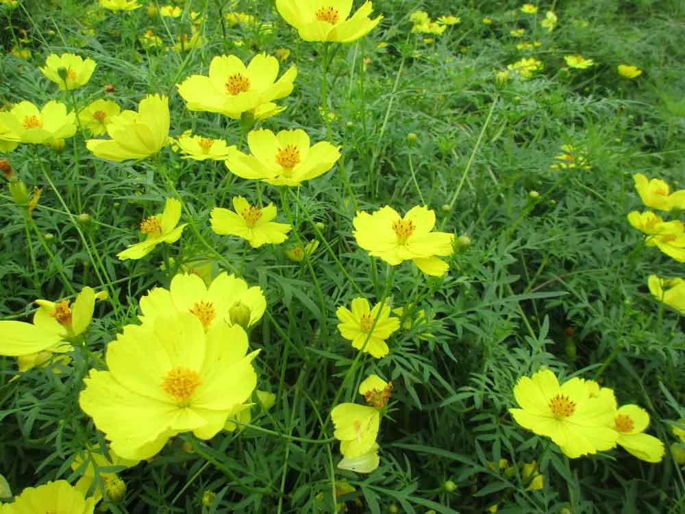 黄色コスモス4 のコピー.jpg
