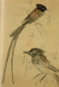 1951三光鳥.jpg