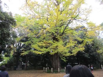 氷川神社大銀杏 のコピー.jpg