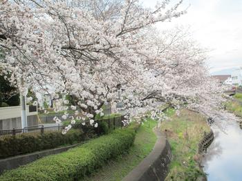 湯殿川の桜2 のコピー.jpg